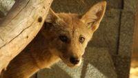 Coyote072009